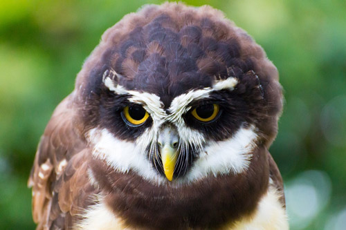 Owl looking at the display network advertising program that's getting him lots of mice